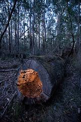 发光的空心木头