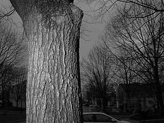 粗壮的大树