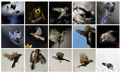 闪卓博识读者Bradford Fuller拍摄的各种漂亮的鸟儿飞翔的汇集