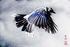 闪卓博识读者Bradford Fuller拍摄的鸟儿飞翔时美丽的翅膀