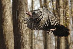 大卫·豪比在北弗吉尼亚州的树林里拍摄的火鸡