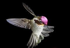 用热靴闪光灯压暗现场光拍摄的定格蜂鸟照