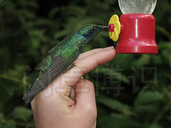 大卫·豪比在哥斯达黎加时拍摄到蜂鸟落在Emily手上的图片