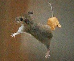 带着花生酱悬在半空中的老鼠