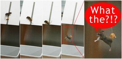 拍摄到老鼠从跳板上掉下来的图片