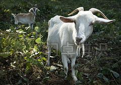 跟着羊群走动时拍摄的山羊照片