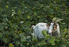 野葛中的割草机生态山羊